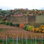 Der Rote Hang bei Nierstein - der Tonschiefer prägt die Lage und die Weine