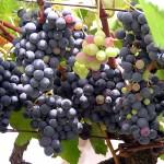 Gesunde Trauben, Voraussetzung für guten Wein